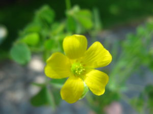 Wood sorrel wildfoods 4 wildlife flower description 5 regular yellow petals flowers bright yellow and to inch in diameter 6 12mm mightylinksfo